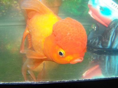 Image gallery petco goldfish for Petco koi fish