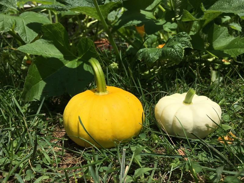 35 Pc Pumpkin F1 Hybrid Amol vegetable seeds Home Garden plant