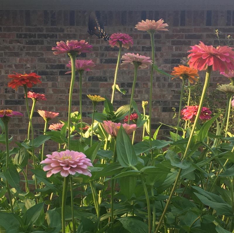 Giant Flowered Mixed Colors Zinnia Seeds And Plants Annual Flower Garden At Burpee Com