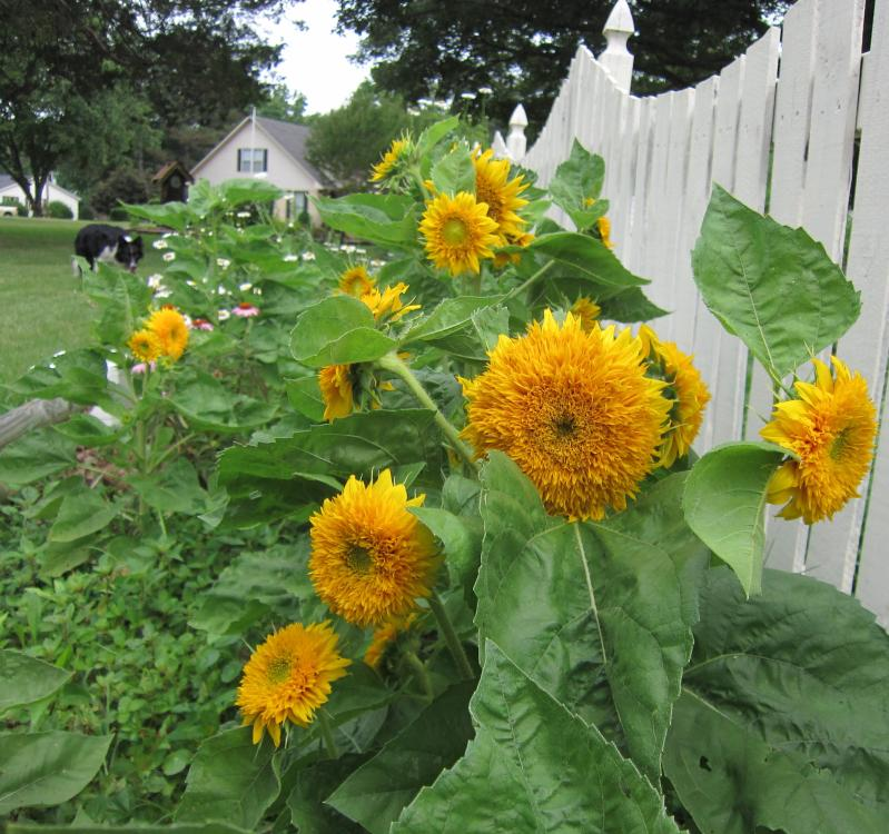 Teddy Bear Sunflower Seeds And Plants Annual Flower Garden At