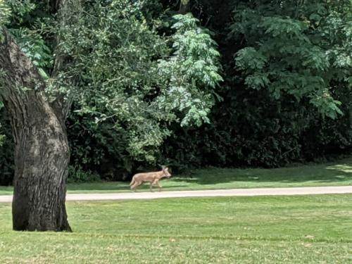 Coyotes are still around the course but rarely seen.