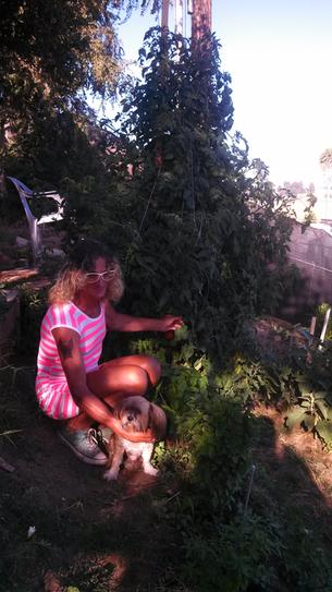 7 FOOT PLUS TOMATO PLANT