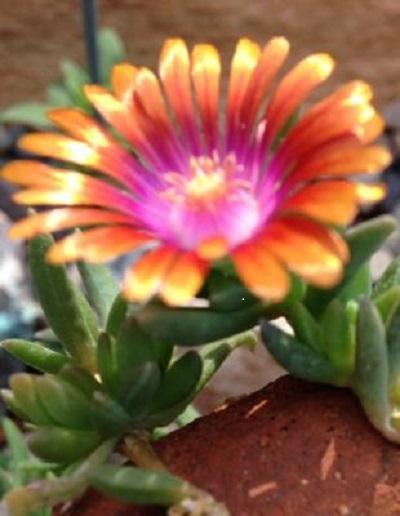 My Delosperma 'Fire Spinner' with Kellogg Garden Organics