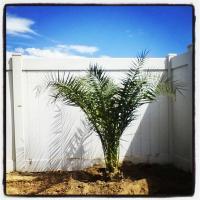 Canary island date palm lowes