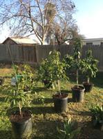 3 58-Gallon Persea Americana Tree (L5894) at Lowes com
