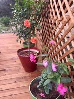 a96a202017 2-Gallon Multicolor Hibiscus Tree Flowering Shrub in Pot (L10437) at ...