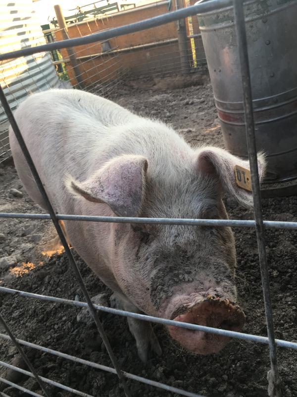 Show Edge Show Pig Feed | Nutrena