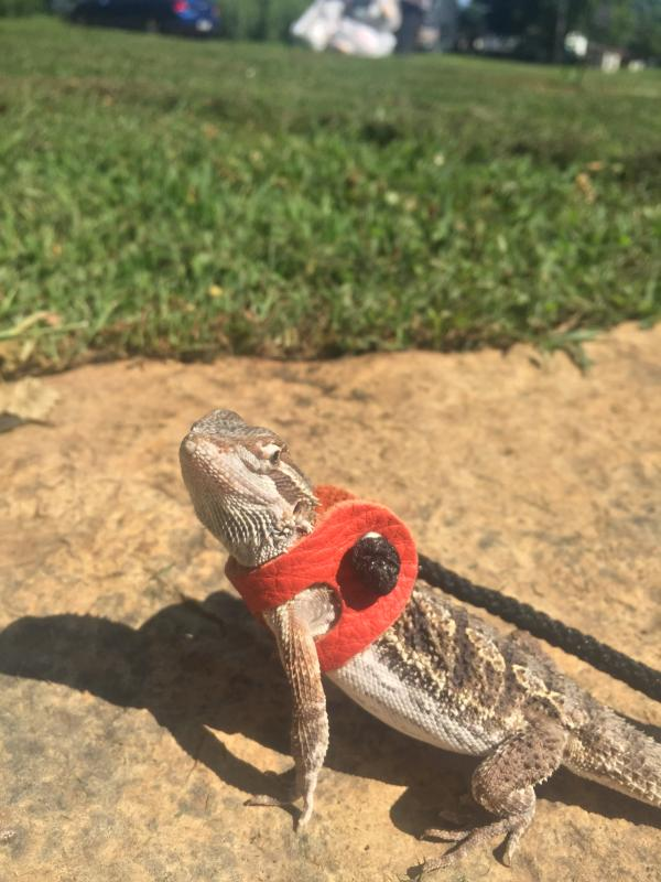 Extra Small Lizard Leash Harness
