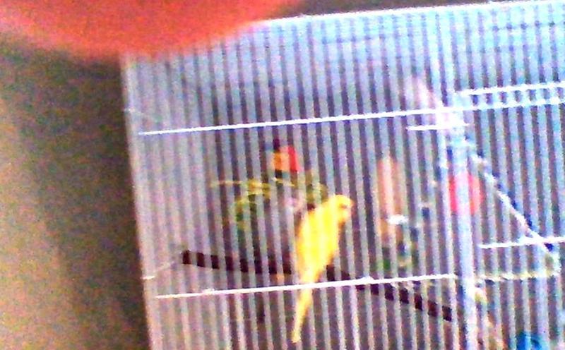 Blue Parakeet For Sale Live Pet Birds Petsmart