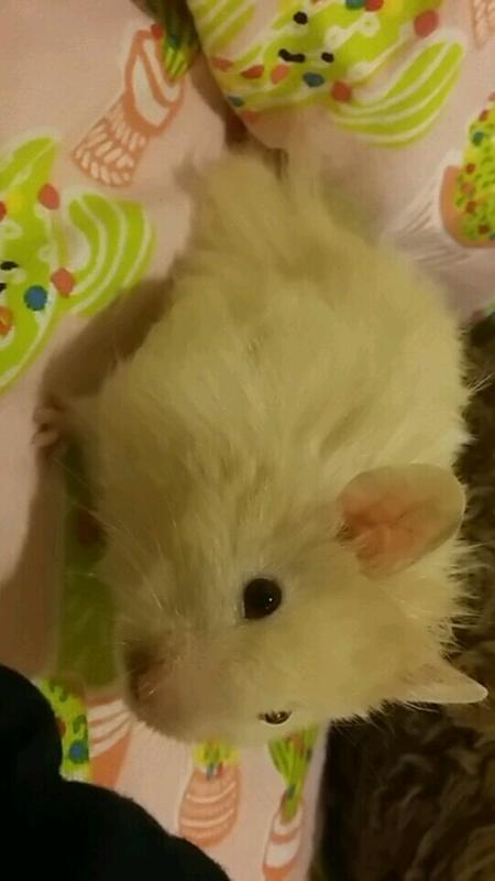 Long Haired Hamster Petsmart 34