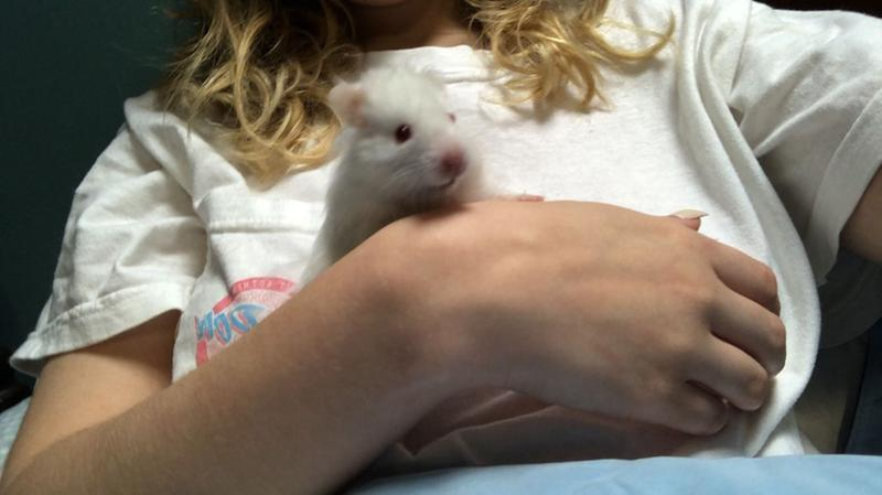 Long Haired Syrian Hamster For Sale Male Live Small Pets Petsmart