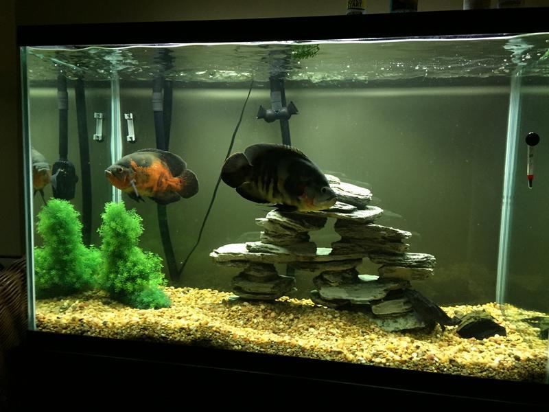Tiger Oscar Cichlid For Sale Live Pet Fish Petsmart