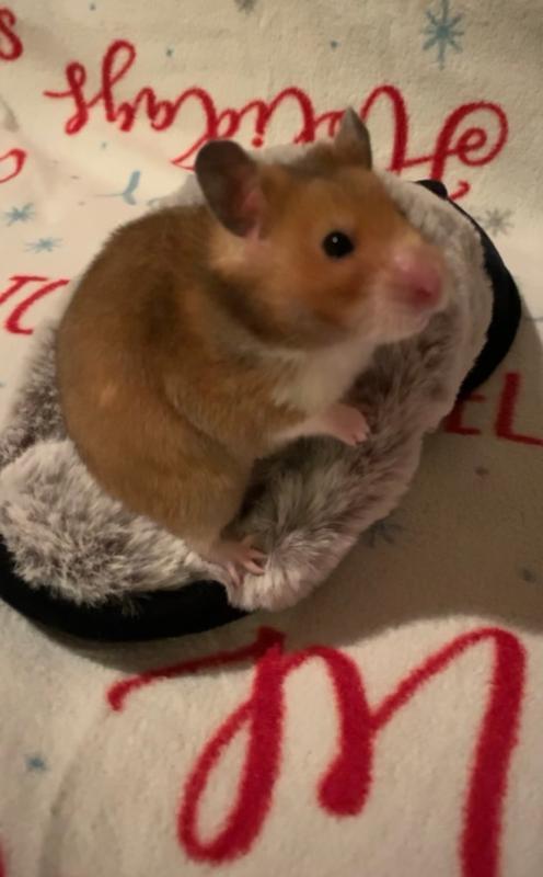 Long Haired Hamster Petsmart 62