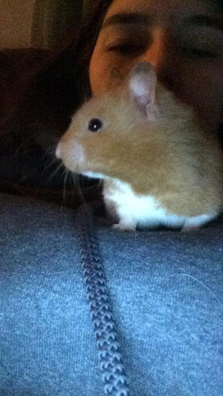 Long Haired Hamster Petsmart 95