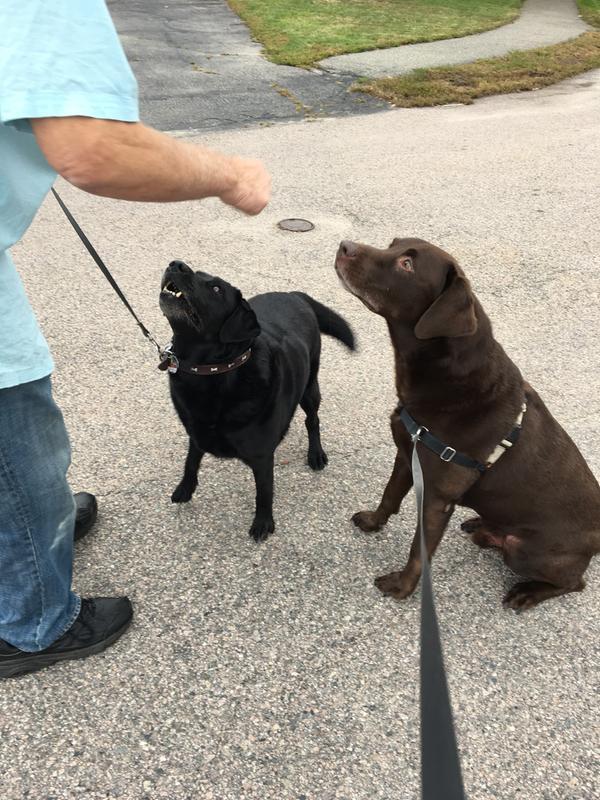 Nero e Grigio PetSafe Easy Walk Harness Extra Large