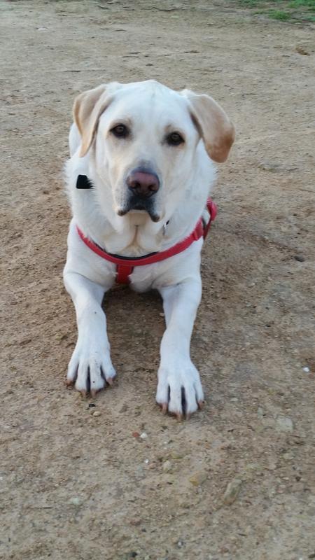 Labrador Retriever Adult Dry Dog Food Royal Canin Breed Health