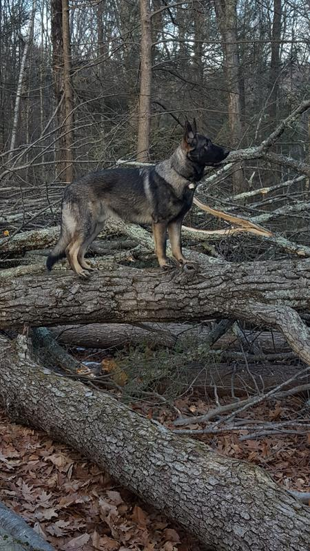 German Shepherd Puppy Dry Dog Food Royal Canin Breed Health Nutrition