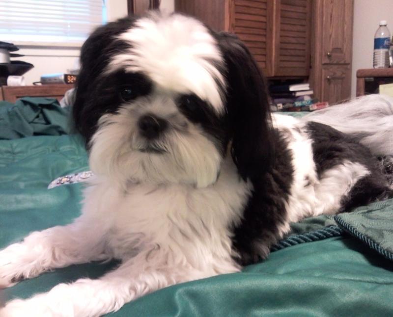 Shih Tzu Puppy Dry Dog Food Royal Canin Breed Health Nutrition