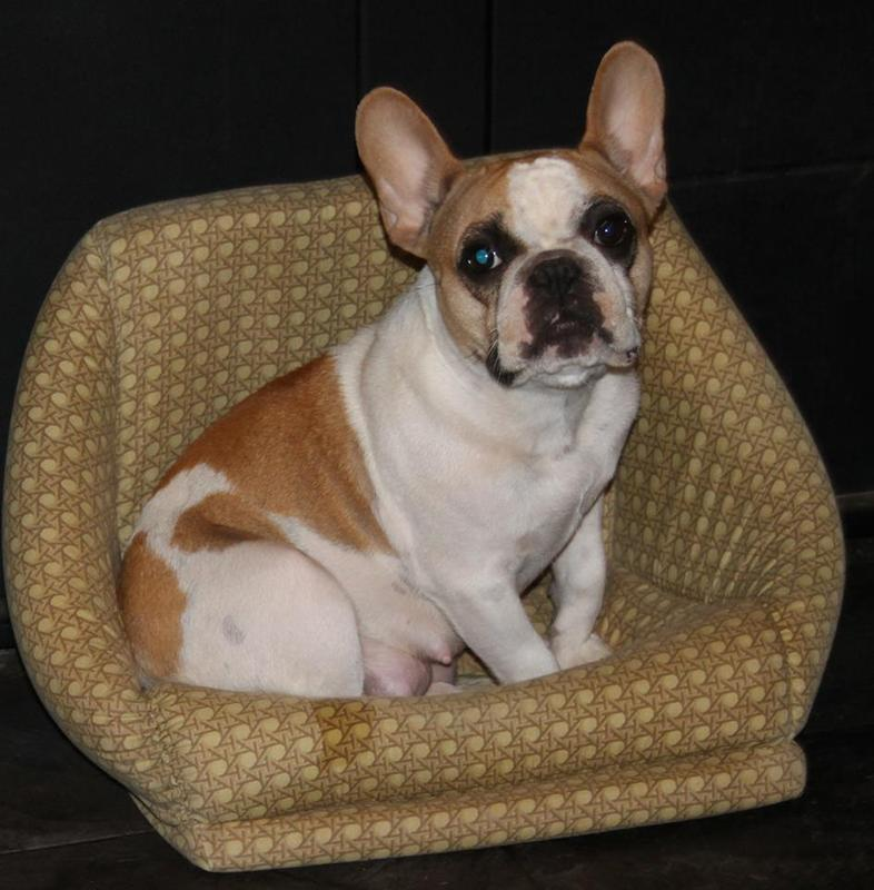 French Bulldog Adult Dry Dog Food Royal Canin Breed Health Nutrition