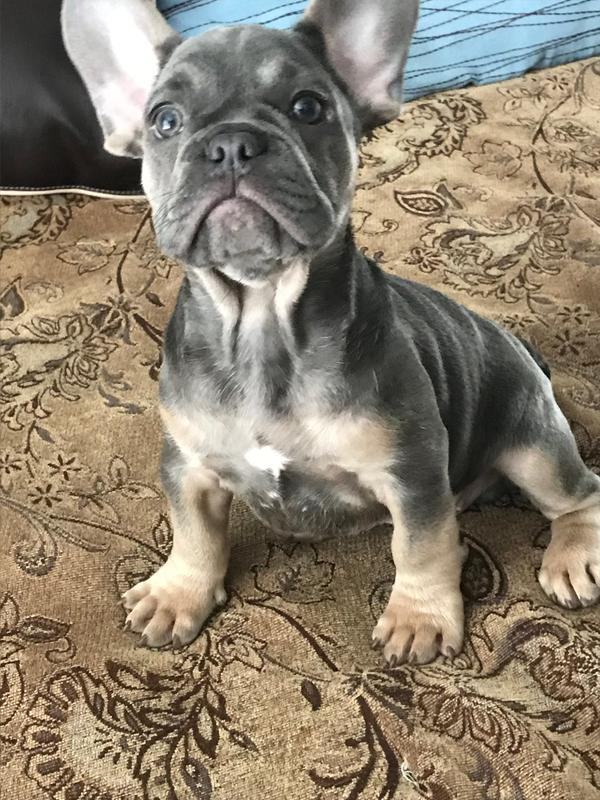 French Bulldog Puppy Dry Dog Food Royal Canin Breed Health Nutrition